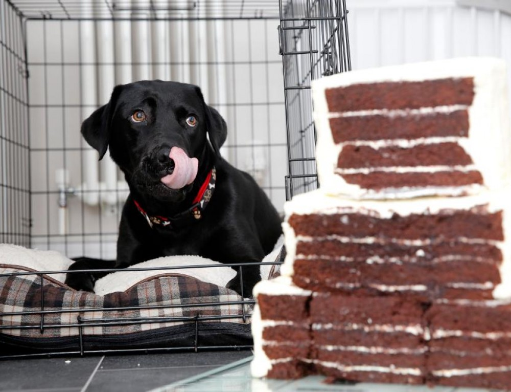 Lovely Labrador Bella made a dog's meal of a three-tier wedding cake